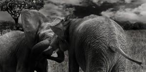 elephant-624127