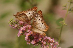 butterfly-743549_640